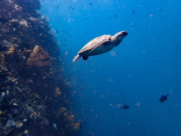 Divers' paradise, Pulau Bunaken, features turtles in many diving sites