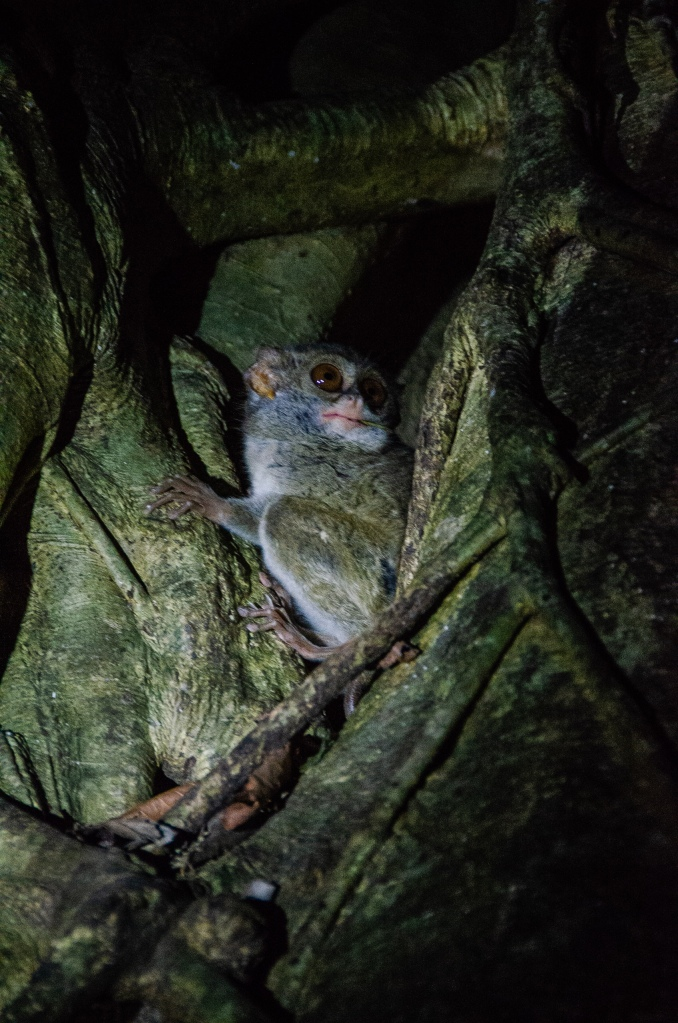 Tarsier comes out of its nest at dusk in Sulawesi