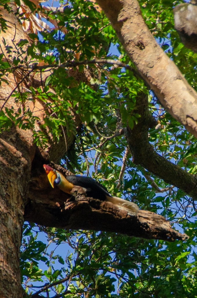A tucan rests on a tree in Tangkoko National Park, in Sulawesi, Indonesia