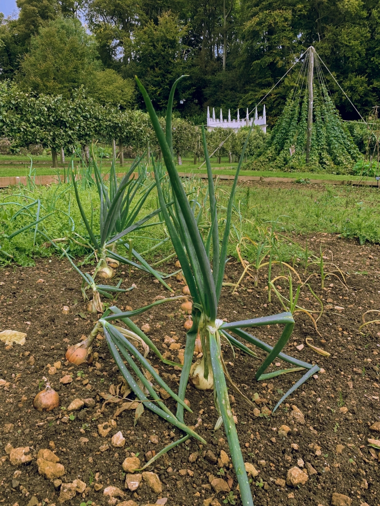 Onions growing from the ground, crowned with long stems, with the orchard in the background at Painswick Rococo Garden