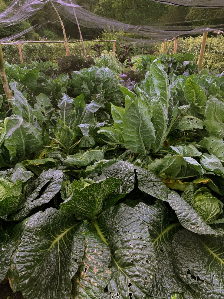 Cabbage patch with radiant and huge cabbages in Painswick Rococo Gardens