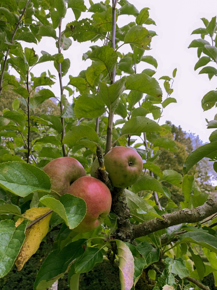 Three apples ripen on a tree branch in the center of the frame, with green leaves and young branches filling the rest.